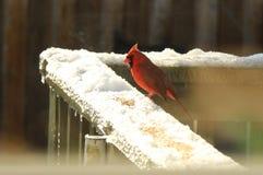 Mannelijke Kardinaal die zaden in de sneeuw eten Stock Afbeeldingen