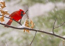 Mannelijke Kardinaal in Sneeuw stock afbeelding