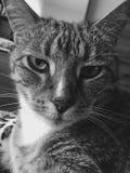 Mannelijke kat | luipaardnoteringen | zwart-wit stock fotografie