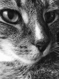 Mannelijke kat | luipaardnoteringen | zwart-wit royalty-vrije stock afbeeldingen