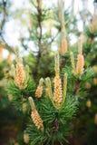 Mannelijke kegels op bergpijnboom stock fotografie
