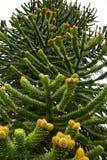 Mannelijke kegels van de Araucaria araucanaboom royalty-vrije stock fotografie