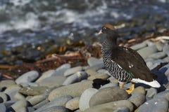 Mannelijke Kelpgans op Falkland Islands Stock Fotografie