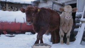 Mannelijke koe bij grond het duwen De koeien van de landbouwbedrijfboerderij stock videobeelden