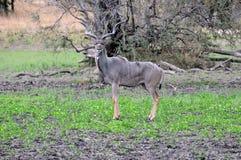 Mannelijke kudu Stock Foto