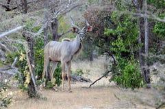 Mannelijke kudu in het hout Royalty-vrije Stock Foto's