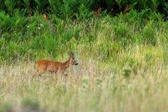 Mannelijke kuit-herten in groene vegetatie royalty-vrije stock foto's