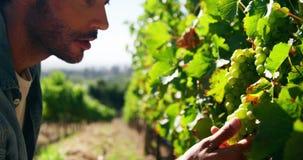 Mannelijke landbouwer die druiven in wijngaard controleren stock footage