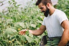 Mannelijke landbouwer die verse komkommers van zijn broeikastuin plukken Stock Fotografie