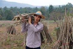 Mannelijke landbouwer status en het lidmaat van de schoudertapioca die samen de stapel in het landbouwbedrijf snijden stock afbeeldingen