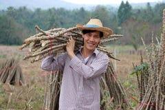 Mannelijke landbouwer status en het lidmaat van de schoudertapioca die samen de stapel in het landbouwbedrijf snijden stock afbeelding