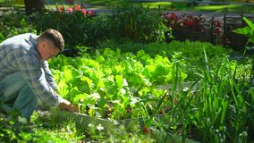 Mannelijke landbouwersmens die kwaliteit van de verse groene dille van de slasalade in tuin controleren, Oogstend Landbouw natuur stock videobeelden