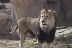 Mannelijke Leeuw Royalty-vrije Stock Fotografie