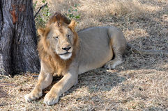 Mannelijke leeuw Royalty-vrije Stock Foto's