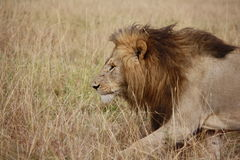 Mannelijke leeuw Royalty-vrije Stock Afbeeldingen