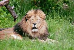 Mannelijke leeuw Stock Foto