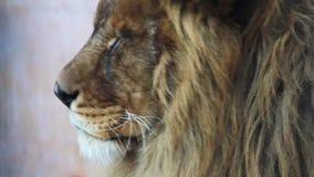 Mannelijke leeuw stock footage