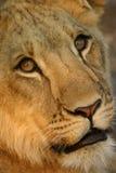 Mannelijke Leeuw Stock Foto's
