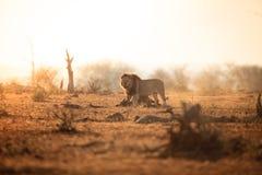 Mannelijke leeuw Stock Afbeelding