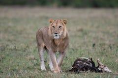 Mannelijke leeuw bij karkas royalty-vrije stock afbeeldingen