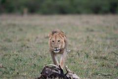 Mannelijke leeuw bij karkas royalty-vrije stock foto