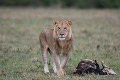 Mannelijke leeuw bij karkas stock afbeelding