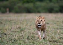 Mannelijke leeuw bij karkas stock foto