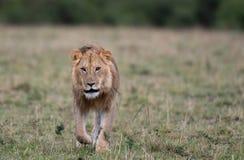 Mannelijke leeuw bij karkas royalty-vrije stock fotografie