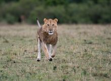 Mannelijke leeuw bij karkas stock afbeeldingen