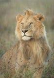 Mannelijke Leeuw in de regen, Tanzania stock afbeelding