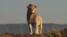 Mannelijke leeuw in de vlaktes stock videobeelden
