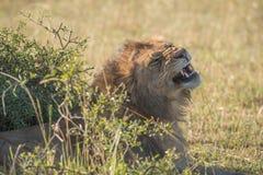 Mannelijke leeuw die achter struik op savanne geeuwen royalty-vrije stock afbeelding