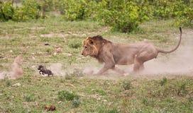 Mannelijke leeuw die babywrattenzwijn achtervolgt Stock Afbeeldingen