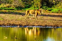 Mannelijke Leeuw die bij zonsopgang in Nkaya Pan Watering Hole in het Nationale Park van Kruger gaan drinken royalty-vrije stock fotografie