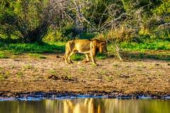 Mannelijke Leeuw die bij zonsopgang in Nkaya Pan Watering Hole in het Nationale Park van Kruger gaan drinken stock foto's