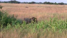 Mannelijke leeuw die door hoog gras lopen stock video