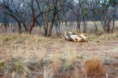 Mannelijke leeuw die in het gras rollen stock foto's