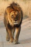 Mannelijke leeuw die onderaan de weg loopt Royalty-vrije Stock Foto's