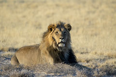 Mannelijke leeuw die op gras ligt Stock Fotografie