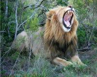 Mannelijke leeuw die op gras met mond open tonende tanden en mond ligt royalty-vrije stock fotografie
