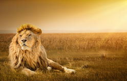 Mannelijke leeuw die op het gras liggen Stock Foto's