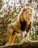 Mannelijke leeuw die uit boven op dagzomende aardlaag kijken Stock Fotografie