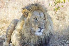 Mannelijke leeuw in het gras stock afbeelding