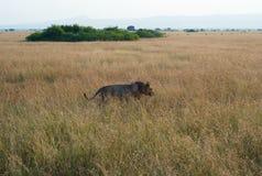 Mannelijke Leeuw in Hoog Gras royalty-vrije stock fotografie