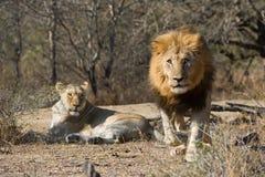 Mannelijke leeuw ladende fotograaf South Africa Royalty-vrije Stock Afbeelding