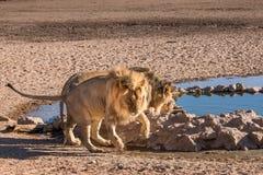 Mannelijke leeuwen royalty-vrije stock afbeeldingen