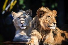 Mannelijke leeuwen die onder de schaduw rusten Royalty-vrije Stock Afbeeldingen