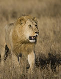Mannelijke Leeuwen op Masai Mara Stock Foto's