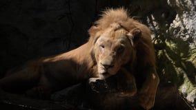 Mannelijke leeuwslaap in dierentuin stock video