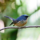 Mannelijke leiachtig-Blauwe Vliegenvanger Royalty-vrije Stock Fotografie